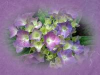Purple and Yellow Hydrangea Blossoms