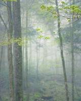 Appalachian Forest in Spring