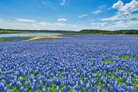Texas Sea of Blue Wildflowers