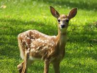 Spotted Young Deer