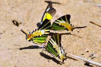 Swallowtails Gathering