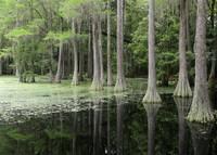 Cypress Swamp Magic by Carol Groenen