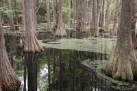 Swirls in the Swamp by Carol Groenen