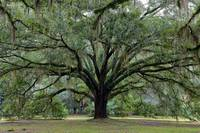 Tallahassee Live Oak by Carol Groenen