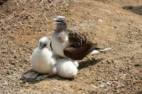 Blue Footed Boobie and Chicks