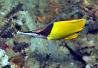 Longsnouted Butterflyfish