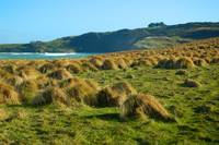Tussock fields NZ