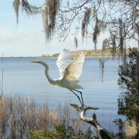Great Egret at Lake Tarpon by I.M. Spadecaller