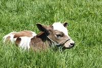 Calf Lying in a Pasture