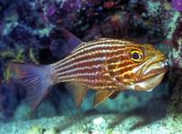 Nasty Looking Tiger Cardinalfish