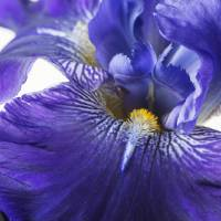blue iris by julie scholz