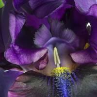 purple iris by julie scholz