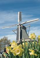 Daffodils and windmill
