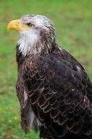 Immature Female American Bald Eagle