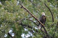 Bald Eagle Perched on dead silver maple branch