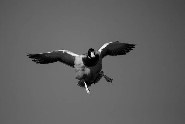 Black & White Series-Flying Ducks 2