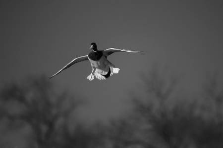 Black & White Series-Flying Ducks 3