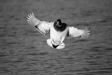 Black & White Series-Flying Ducks 6