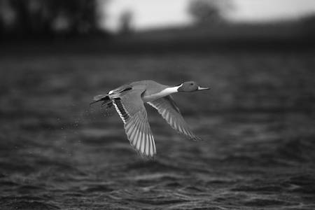 Black & White Series-Flying Ducks 7