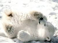 White Furry Polar Bear Rolls In The Snow
