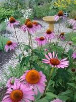 Purple Cone Flower and Bird Bath
