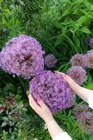 Allium Flower in My Hands