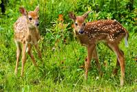 2 Baby Whitetail Fawn Deer