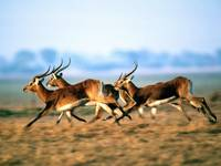 Antelopes Jumping Gracefully On The African Plains