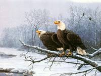 Bald Eagles Cling To A Snow Covered Branch