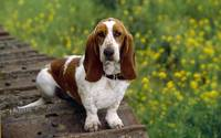 I Just Love My Loyal Bassett Hound