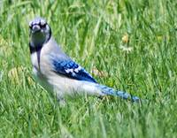 Bluejay In The Green Grass