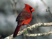 Red Cardinal Bird Perches On A White Birch Branch