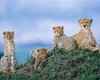 Mother,Dad And Cheetah Cubs Rest On A Mountain Top