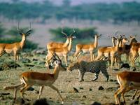 Dangerous Leopard Attacks A Herd Of Impalas