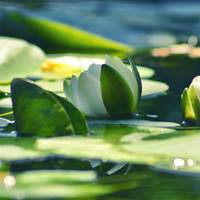 Floating White Pond Lily
