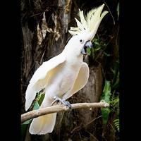 Cockatoo Dance