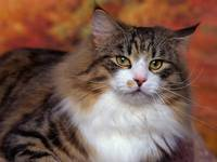 Furry Norwegian Forest Cat