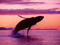 Humpback Whale Dives At Sunset,  Alaska US