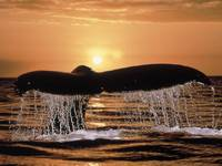 Humpback Whale's Tail At Sunset