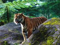 Hungry Sumatran Tiger On The Prowl