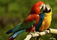 In Love Macaws, South America