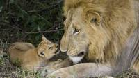 I Love You Dad, Lion Cub And His Dad