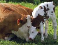 Loving Mother Cow And Calf