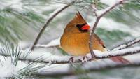Northern Cardinal On A Snowy Pine