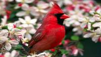 Red Cardinal Sits In The Cherry Blossoms