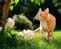Orange Tabby Cat Roams