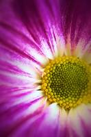 Coloured Daisy