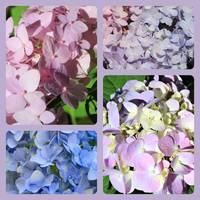 Pretty Pastel Hydrangeas Collage by Carol Groenen