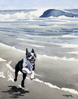 Boston Terrier at the Beach Running