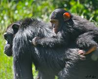 Sweetwaters Chimp Mother & Baby